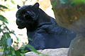 Panther at the memphis zoo.JPG