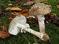 Pantherpilz Amanita pantherina (cropped).jpg