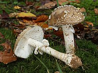 L'amanite panthère (Amanita pantherina).