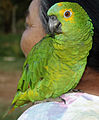 Papagaio (Fêmea) REFON 010907.jpg