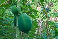 Papaya from Margarita island 2.jpg
