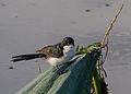 Paperbark Flycatcher (3).jpg