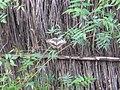 Papilio demodocus 0001.jpg