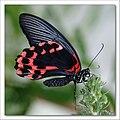 Papilio memnon Linne.jpg
