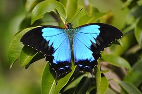 Description de l'image Papilio montrouzieri.JPG.