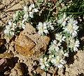 Paronychia argentea. Caryophyllaceae - Flickr - gailhampshire.jpg
