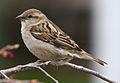 Passer domesticus female (4) (cropped).jpg