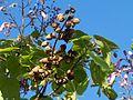 Paulownia nuts.jpg