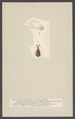 Paussus - Print - Iconographia Zoologica - Special Collections University of Amsterdam - UBAINV0274 001 02 0043.tif