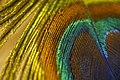 Peacock Feather Close Up (201385355).jpeg