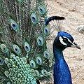 Peacock at Blackpool Zoo (geograph 4022185).jpg