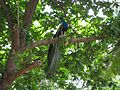 Peafowl of south India 2.jpg