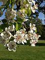 Pear tree flowers.jpeg