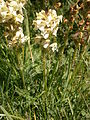 Pedicularis ascendens 004.JPG