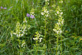 Pedicularis yezoensis 05.jpg