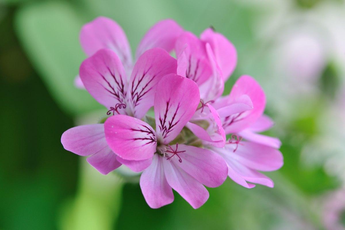 Pelargonium Wikipedia
