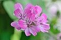 Pelargonium capitatum flickrWright.jpg
