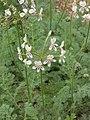 Pelargonium triste Stellenbosch BG habit.jpg