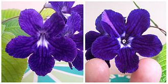 Pelorism - A normal (left) and a peloric Streptocarpus showing the bilateral to radial symmetry alteration.