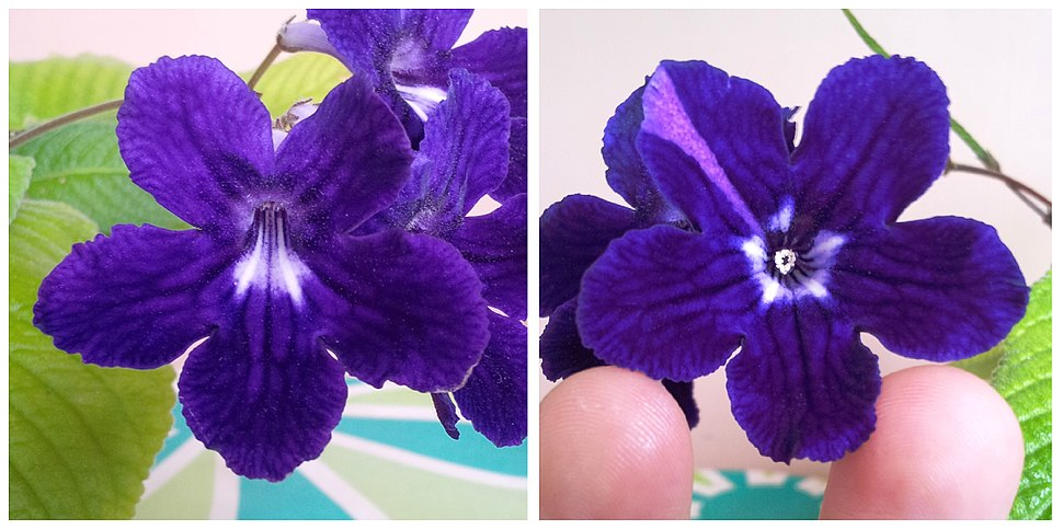 Peloric Streptocarpus flower