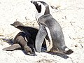Penguin Watching Over Its Two Chicks (30879935828).jpg