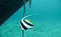 Pennant Coralfish (Heniochus acuminatus) (6127494764).jpg