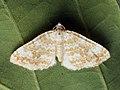 Perizoma flavofasciata - Sandy rivulet - Ларенция марьянниковая (39147877840).jpg