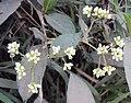 Persicaria chinensis 15.JPG