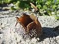 Peziza ammophila Betty's Bay 02.jpg