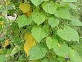 Pharbitis purpurea1.jpg