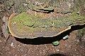 Phellinus fastuosus - Flickr - Dick Culbert (1).jpg