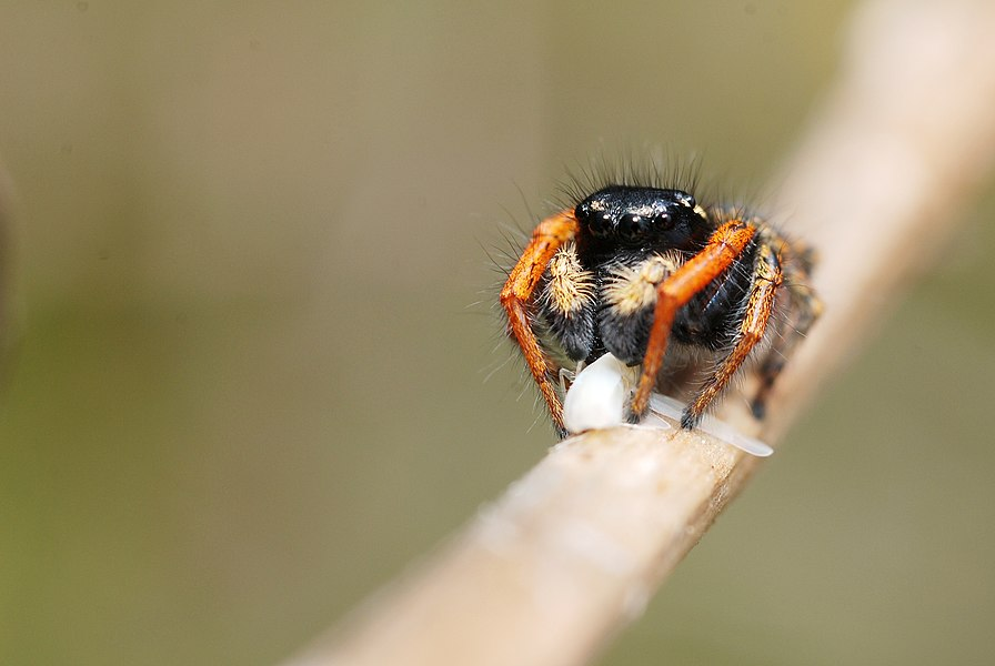 Eating a leafhopper