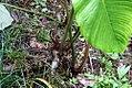 Philodendron grandipes 5zz.jpg
