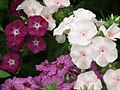 Phlox from Lalbagh flower show Aug 2013 8414.JPG