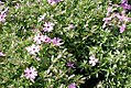 Phlox subulata Fort Hill 4zz.jpg