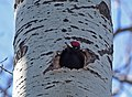 Pic noir mâle Dryocopus martius aDSC 2393a (51013172835).jpg
