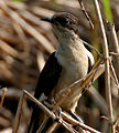 Pied Cuckoo (Clamator jacobinus) in AP W2 IMG 3950.jpg