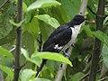 Pied Cuckoo (Jacobin Cuckoo) - Clamator jacobinus - DSC00607.jpg