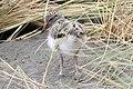 Pied Oystercatcher (Haematopus longirostris) 3 (31343640345).jpg
