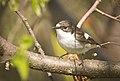 Pied flycatcher (51139000407).jpg