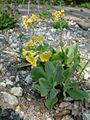 Pierwiosnek łyszczak Primula auricula RB1.JPG