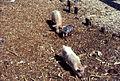 Pigs at Fadiouth (Fadiout), Sénégal (West Africa) 1982 (2255764809).jpg