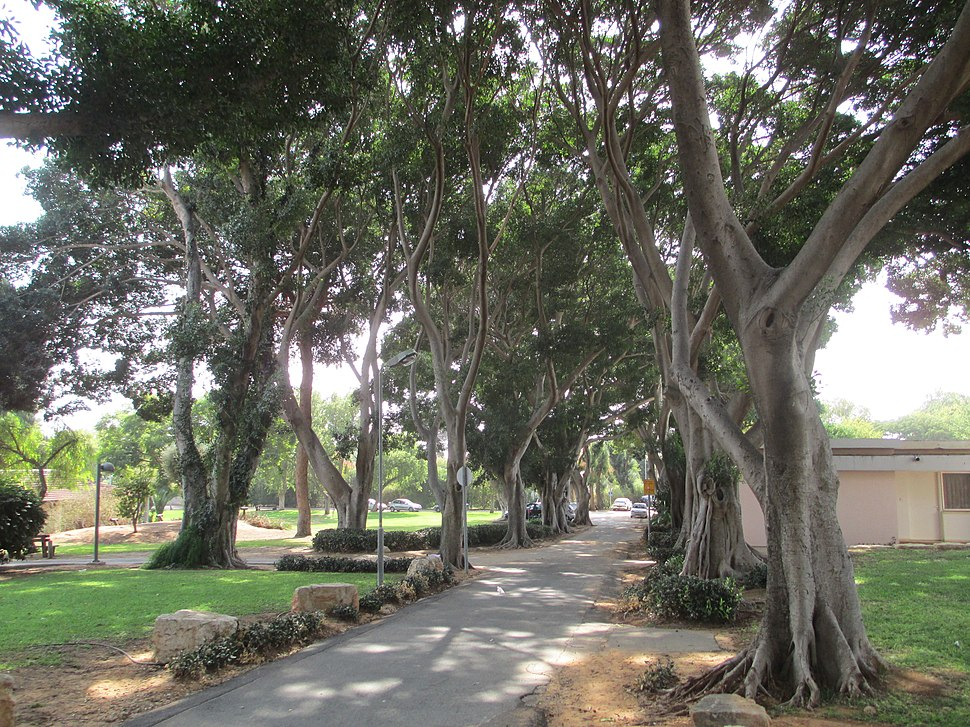 PikiWiki Israel 33593 Ficus trees in Kibbutz Shefayim