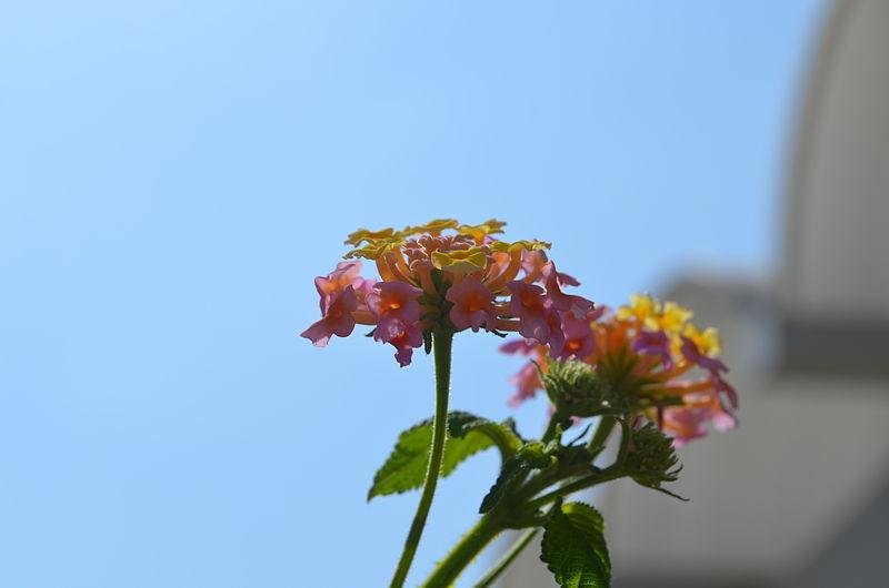 פרח בעיר