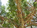 PikiWiki Israel 5476 fruits of sycamore tree.jpg