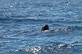 Pilot Whale (24048865310).jpg