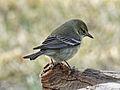 Pine Warbler female RWD2.jpg
