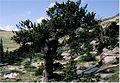 Pinus aristata0.jpg