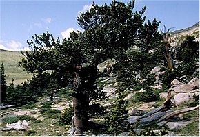 Description de l'image Pinus aristata0.jpg.
