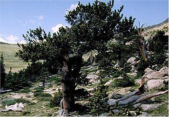 Pinus aristata - Image: Pinus aristata 0